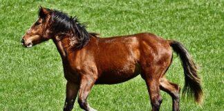 ile kosztuje koń